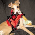 ROMP Italian Greyhound Rescue, ROMP Rescue