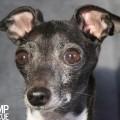 Chicago italian greyhound rescue