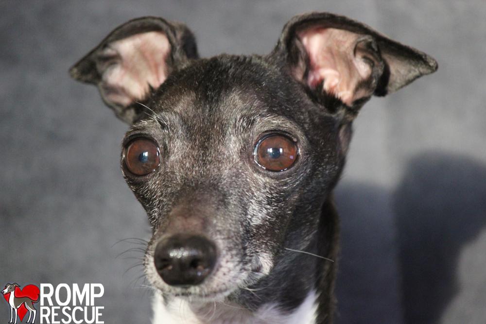 Chicago Italian Greyhound Rescue - ROMP Italian Greyhound ...