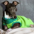 CGC, CGC test, CGC Chicago, CGC Italian Greyhound, Italian Greyhound CGC, caninie good citizen test