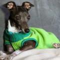 CGC, CGC test, CGC Chicago, CGC Italian Greyhound, Italian Greyhound CGC, caninie good citizen test