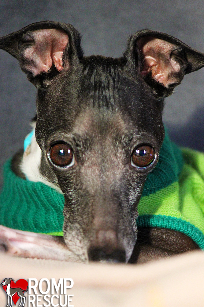 Greyhound Dog Adoption Chicago