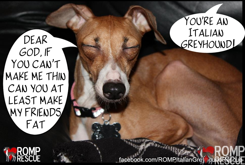 walk your dog month, pet health, fat italian greyhound, italian greyhound, funny italian greyhound, funny dog sayings, dog meme