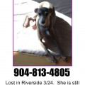 Lost Italian Greyhound, riverdale, riverside, fl, florida, found, found italian greyhound, missing, missing italian greyhound, saw, spotted, march, 2013, female, senior, boots