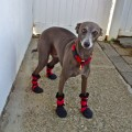 Italian Greyhound boots, custom dog boots, italian greyhound custom boots, woof woofs, doggy booties, dog booties, snow boots, dog snow boots
