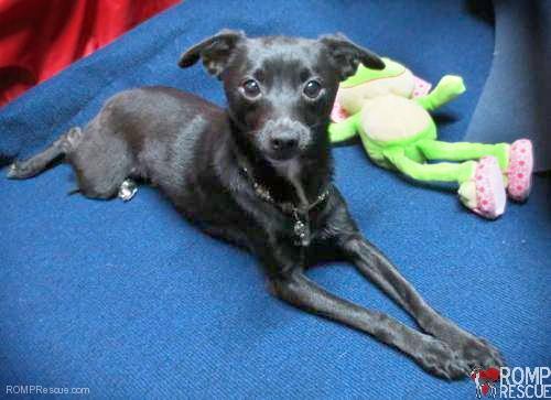 Chicago Italian Greyhound Mix Rescue - Sweetie - ROMP ...