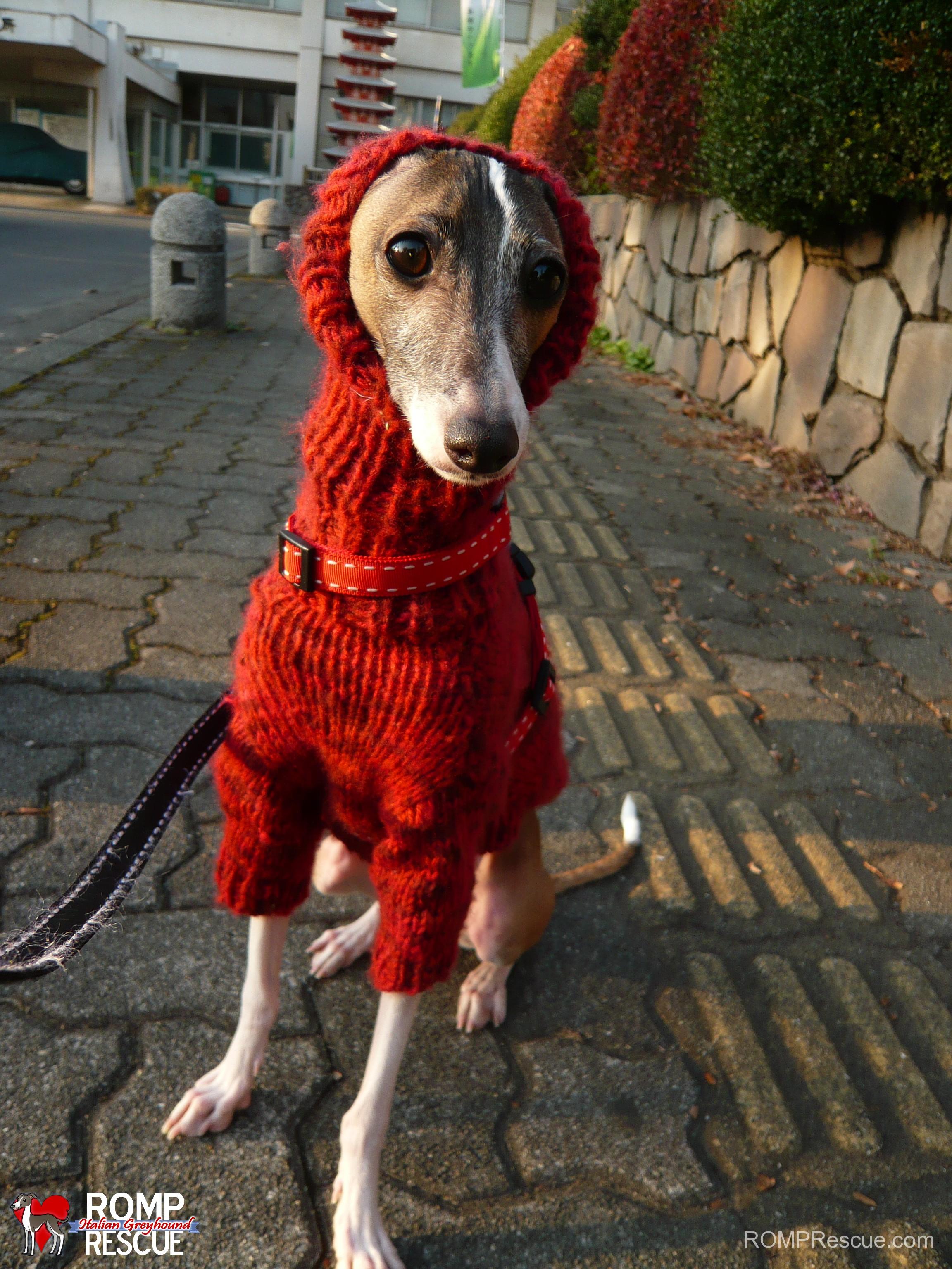 Italian Greyhounds Wearing Turtlenecks - ROMP Italian ...