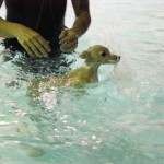 Learning to Swim from Seth of Underwater Dogs and was shot for Underwater Puppies book coming out-2