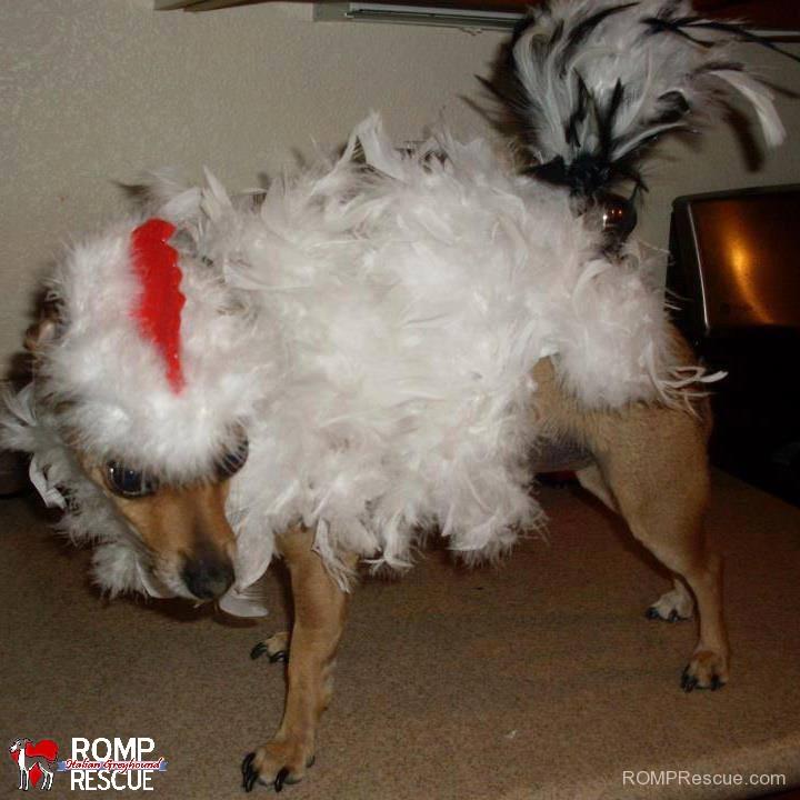 diy dog halloween costume, dog chicken costume, chicken, costume, dog, pet, canine, do it yourself, home made, homemade, hand made, handmade