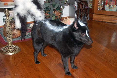 skunk dog costume, DIY dog costumes