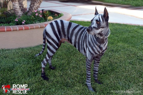dog diy halloween costume, zebra, paint