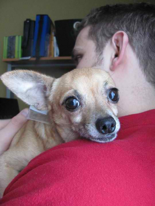 Southern Illinois Transport, chihuahua rescue, chihuahua transport, chihuahua dogs, chihuahua puppys, chicago chihuahua, chicago chihuahuas, chicago chihuahua rescue, rescue chihuahuas