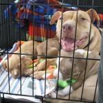 pitbull rescue