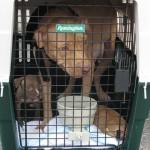 pilot paws rescued pitbulls