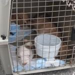 pitbull rescue transport