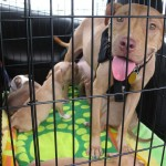 Pitbull puppies rescued