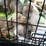 pitbull rescue transport puppies