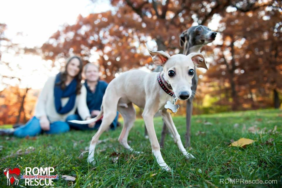 Chicago Italian Greyhound, Italian Greyhound Chicago, italian greyhound adoption
