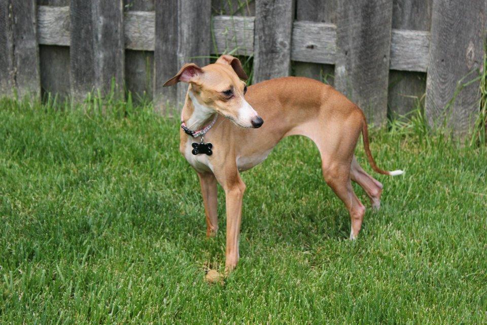 Italian Greyhound Facts
