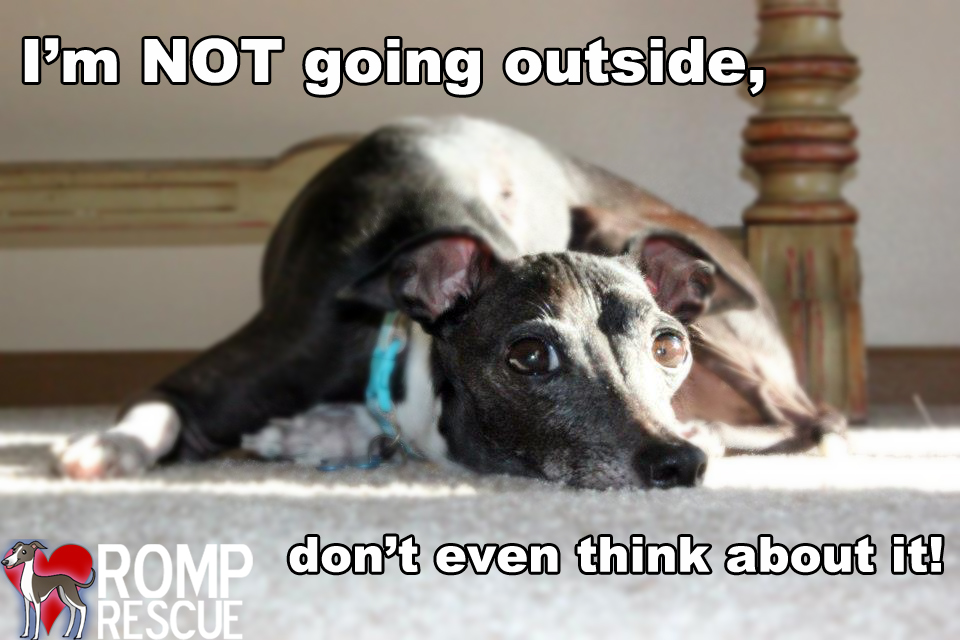 Italian Greyhound Cold Weather, Dog doesnt want to go outside, dog doesnt like cold, dog hates cold