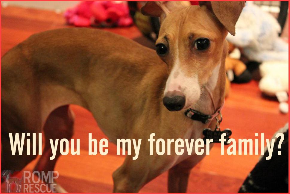 Italian Greyhound Rescue Adoption Campaign, ROMP Resuce