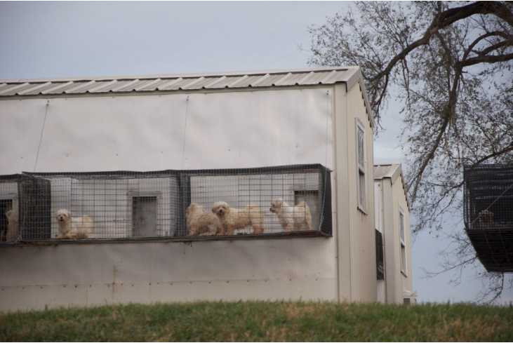 Chicago Pet Stores Linked to Puppy Mills, Pocket Puppies come from mills, pocket puppies are mill dogs
