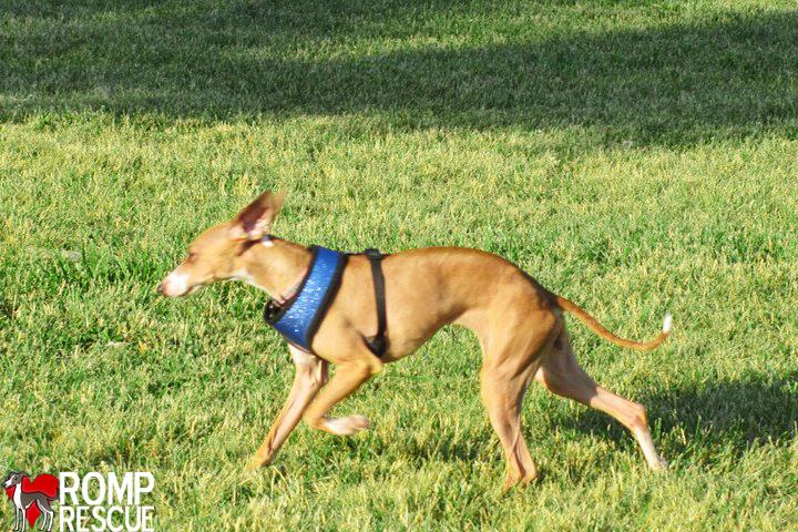 italian greyhound rescue chicago, italian greyhound adoption