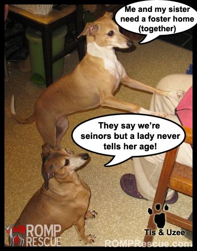 Chicago Italian Greyhound Rescue Seniors, Foster a Dog