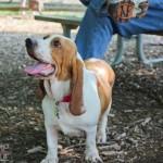 basset hound, chicago basset hound, playdate, play date, meet up, dog play date, doggy play date, doggy meet up