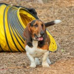 Ibasset hound, chicago, play date, meet up, dog, dogs, doggy, small dog, small dogs, illinois, wood dale, white oak, off leash dog park