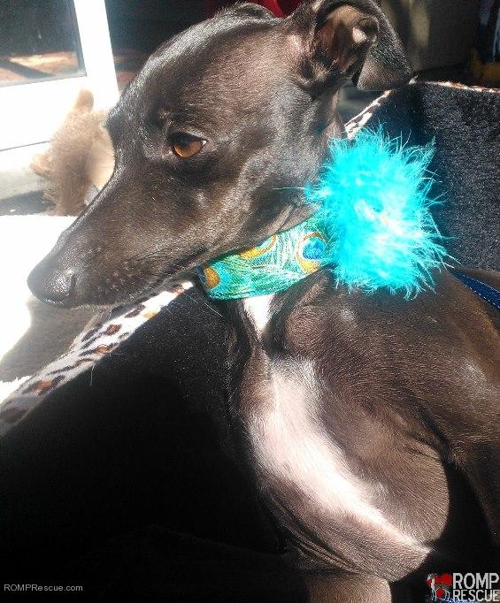 Shaka Dog Hawaii, italian greyhound collar, italian greyhound collars, custom italian greyhound collars,trendy, cool, feather, unique, custom, handmade, hand made, hawaii, iggy, ig