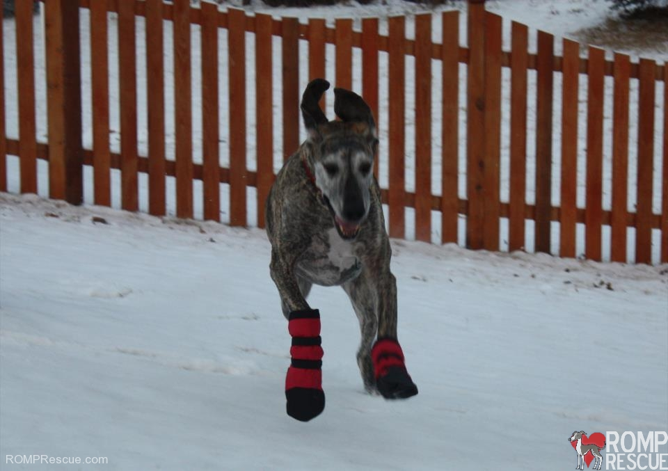 WoofWoofs Custom Dog Boots - Thank You! - ROMP Italian Greyhound ... 60b45a6c4876