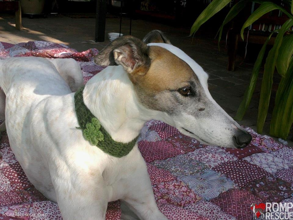 Doggy Diva Boutique, st patricks day dog, dog, st patricks day, neckband, costume, accessory, collar