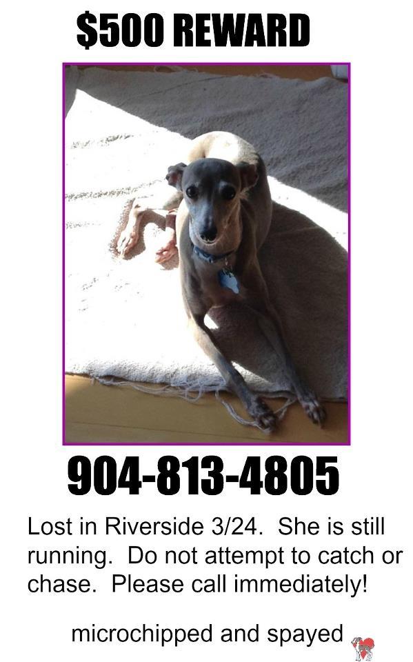 Lost Italian Greyhound, riverdale, riverside, fl, florida, found, found italian greyhound, missing, missing italian greyhound, saw, spotted, march, 2013, female, senior, boots