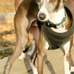 Chicago Italian Greyhound play group