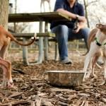 Chicago Italian Greyhound meet up