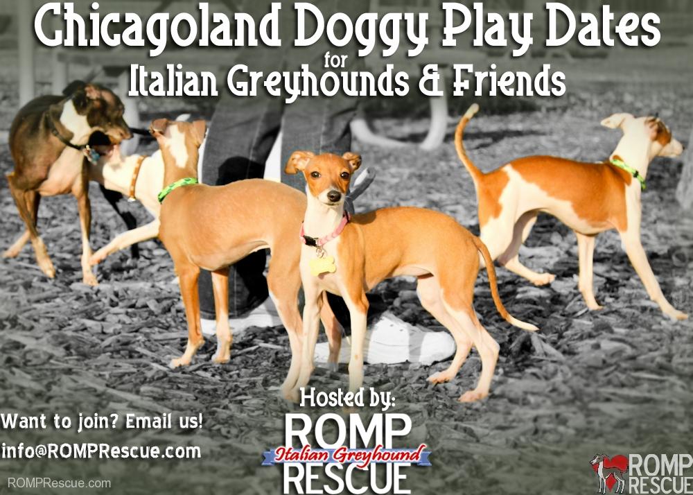 Chicago Italian Greyhound meetup, chicago italian greyhound play date, chicagoland, chicago, italian greyhound, meetup, play date, playdate, offleash, dog park