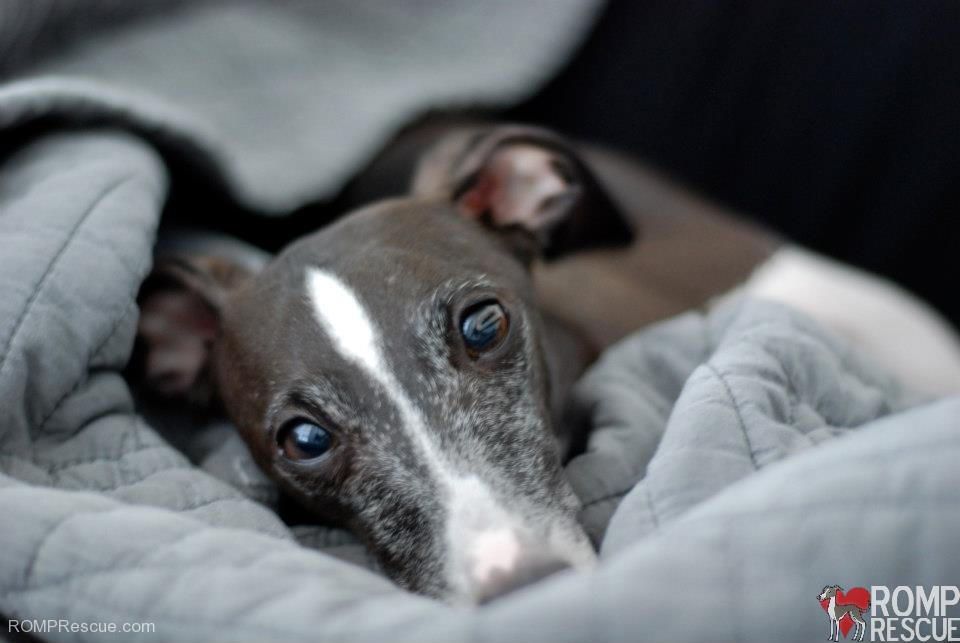 Chicago Italian Greyhound , adoptable italian greyhound, italian greyhound, iggy, ig, ig rescue, italian greyhound rescue, adoptable italian greyhound