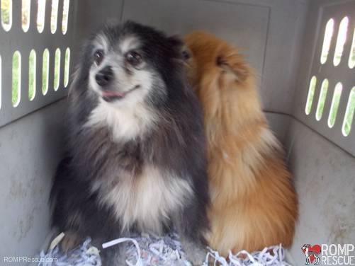 pomeranian rescue, chicago, pomeranian, pom pom, pom rescue, pomeranian rescue, chicago pom, chicago pomeranian, chicago pom foster, chicago dog foster, foster a dog, dog foster, mill, shelter, help, adopt, support volunteer