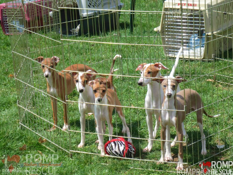 Electric fence vs Traditional fence, electric fence, traditional fence, invisible fence, pros, cons, bad, why, truth, escape, italian greyhound, small dog