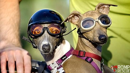 Dog Summer Tips, Italian greyhound doggles, italian greyhound, italian greyhounds, iggy, ig, iggies, doggles, dog goggles, doggy goggles, dog sunglasses, doggy sunglasses