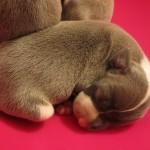 Italian greyhound puppies, chicago, chicago italian greyhound, chicago italian greyhound adoption, chicago italian greyhound rescue, chicago italian greyhound puppies