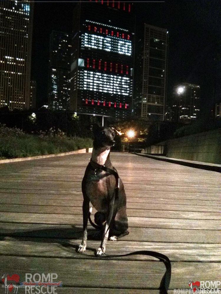 Lets Go Blackhawks, blackhawks dogs, chicago, italian greyhound, iggy, ig, hockey, nhl, stanley cup, cute, buildings, lights, chicago skyline, skyline, skyscrapers, buildings