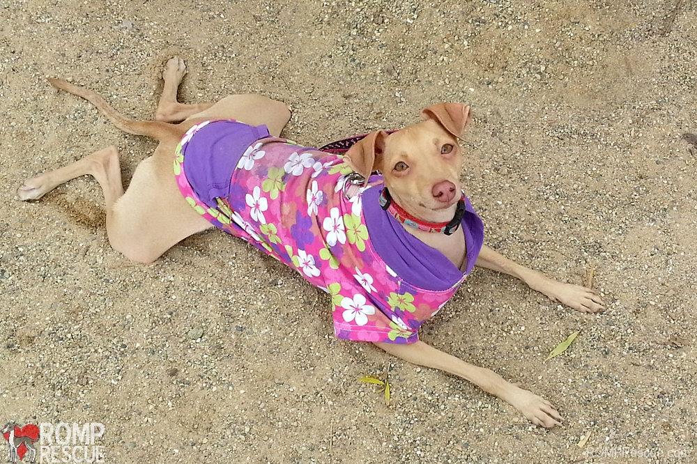 capri, italian greyhound, rescue, chicago, rainbow bridge, illinois