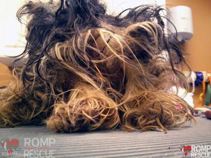 matted yorkie, Rescued Yorkie Puppies, yorkie puppy, yorkie hair mat