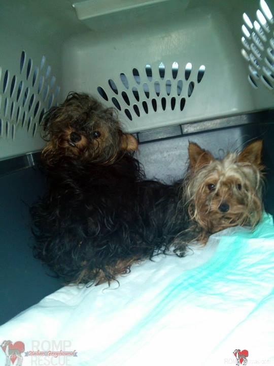 Rescued Yorkie Puppies
