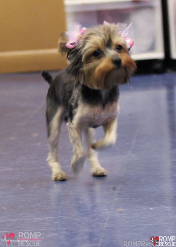 chicago yorkie rescue, yorkie rescue, yorkshire terrier, puppy, pup, baby, small teacup, tea cup yorkie, teacup yorkie, female, young, chicago, romp rescue, rescue, adopt, adoption, schaumburg, barrington, shelter, adoptable, available