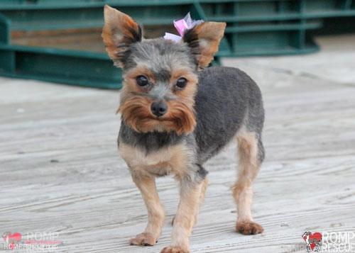 Chicago Yorkie Puppy, Yorkie adoption, adopt a yorkie, chicago, yorkie, puppy, puppies