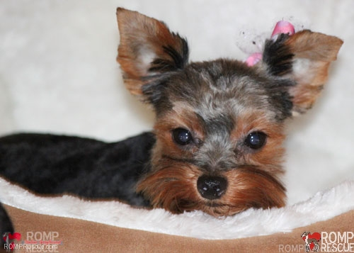 Chicago Yorkie Puppy Rescue, Chicago Yorkie Puppy, Yorkie adoption, adopt a yorkie, chicago, yorkie, puppy, puppies, female, tiny, small, teacup, tea cup, brown, black, cute, adorable, available, adopt, adoptable, adoption, rescue, rescued