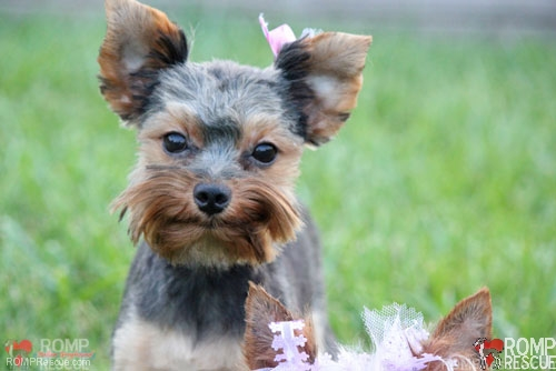 Chicago Yorkie Puppy Rescue, Chicago Yorkie Puppy, Yorkie adoption, adopt a yorkie, chicago, yorkie, puppy, puppies, female, tiny, small, teacup, tea cup, brown, black